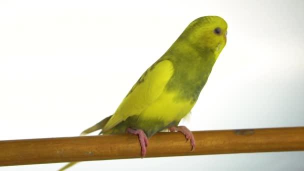 zelený papoušek izolovaných na bílém pozadí