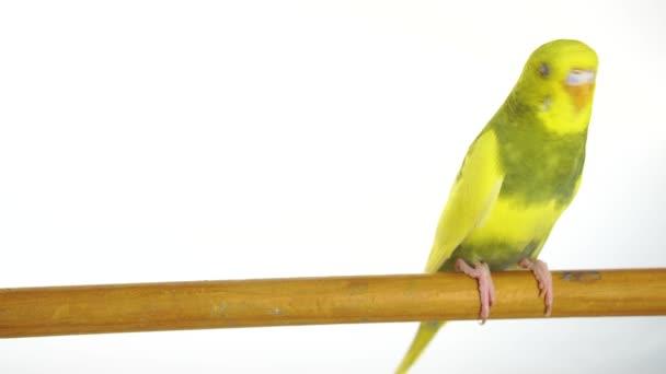 zöld papagáj elszigetelt fehér background