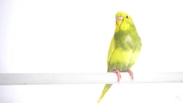 Zelený papoušek Andulka izolovaných na bílém obrazovky