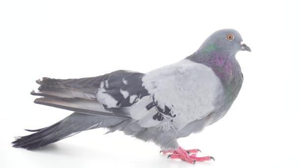 Dove bird on white background isolated