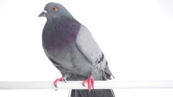 Dove madár elszigetelt fehér background