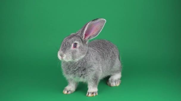 Gray rabbit on green background