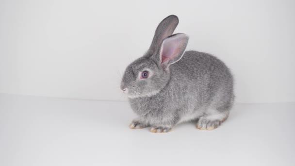 Šedý králík na bílém pozadí, samostatný