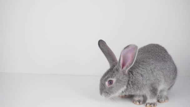 Gray rabbit on a white background isolated