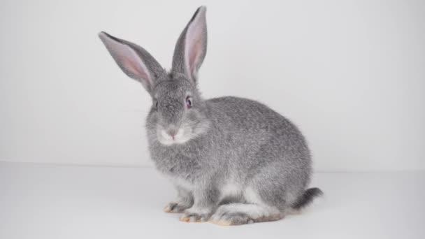 graues Kaninchen auf weißem Hintergrund isoliert