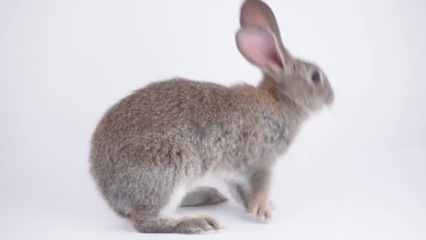 Gray hare on a white background