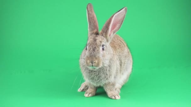 Gray hare on a green background