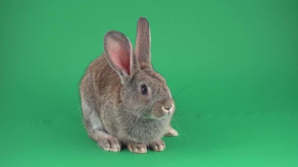 Šedý králík na zeleném pozadí