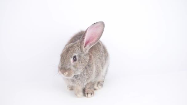 šedý králík na bílém pozadí