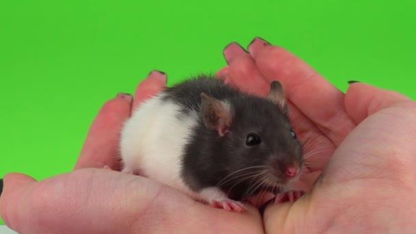 Rat on hand green screen