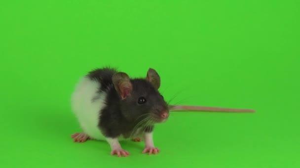 Ratte auf dem grünen Bildschirm