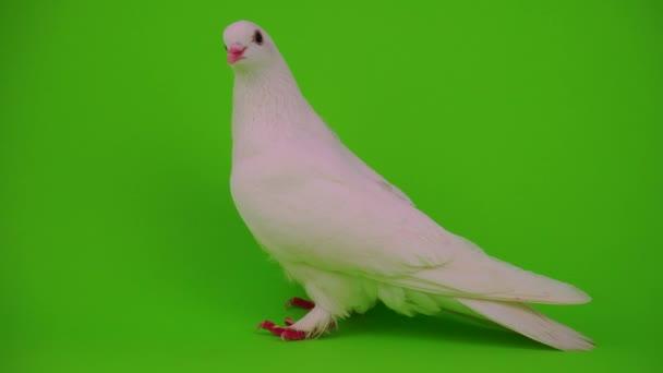 Fehér Galamb madár zöld háttér