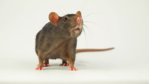 Rat on white background