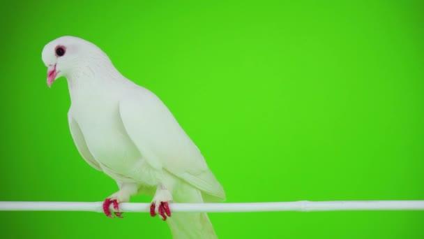 Madár fehér galamb a zöld képernyő