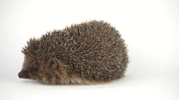 Hedgehog on white background