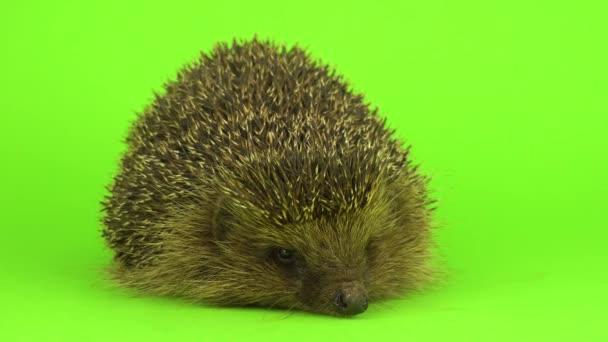hedgehog on the green screen