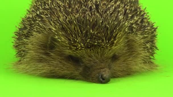 hedgehog on the green screen