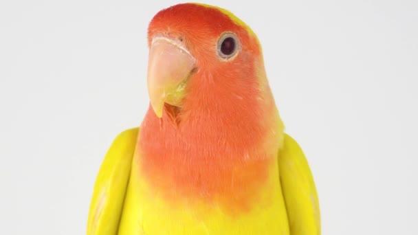 Lovebird papoušek růžovými tvářemi na bílém pozadí