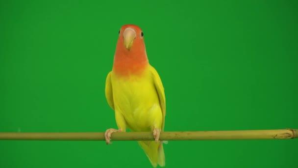 Papoušek růžový na zeleném pozadí