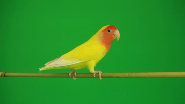 Pink-pimasz papagáj a zöld háttér