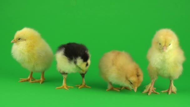 little yellow chicken on a green screen