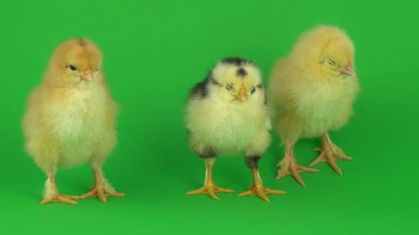 Malé žluté kuře na zelené obrazovce