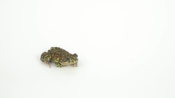 Žába ropucha zelená na bílém pozadí