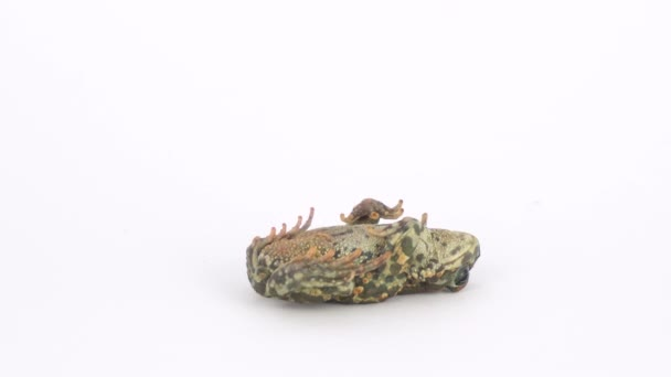 Froschkröte grün auf weißem Hintergrund