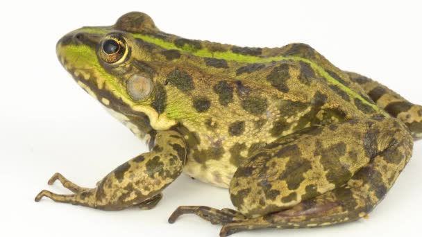 Žabí Ropucha zelená na bílém pozadí
