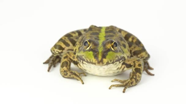 Frog toad green on white background