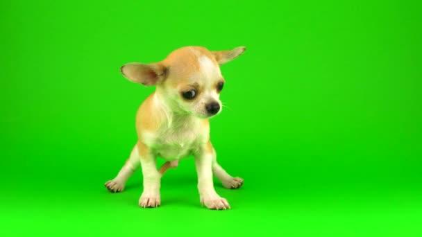 Süße Welpen Chihuahua Hund auf grünem Bildschirm Hintergrund