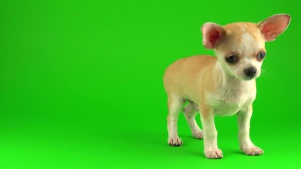 Aranyos kiskutya Chihuahua kutya zöld képernyő háttér