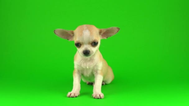 Cute puppy chihuahua dog on green screen background