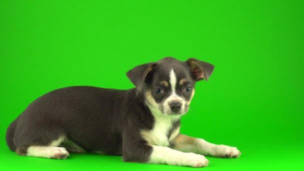 Chihuahua kiskutya kutya-ra zöld képernyő háttér