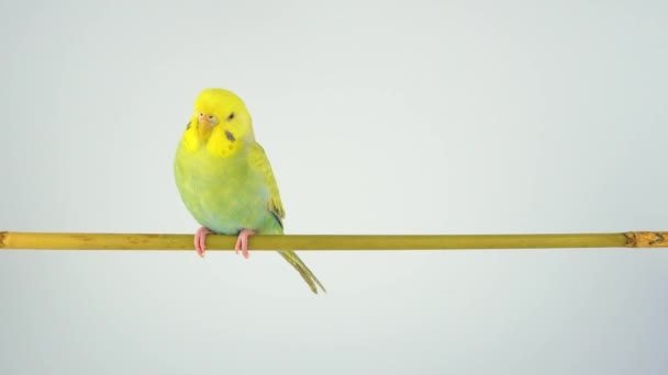 The wavy parrot sits on a stick on a white background