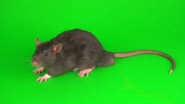 Gray rat on green screen background