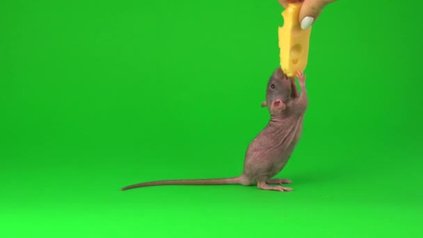 Rat dumbo sphinx eating cheese on green screen background