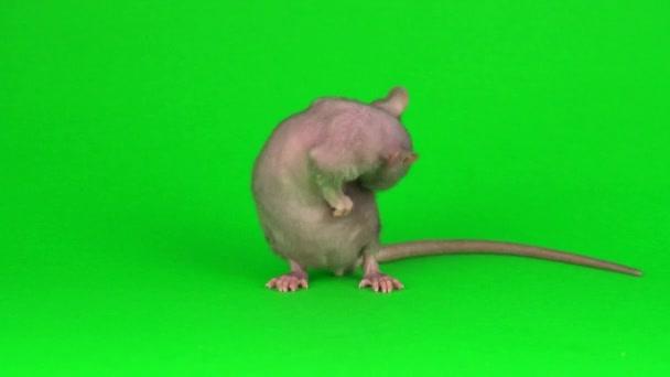 Patkány Dumbo Szfinx zöld képernyős háttér
