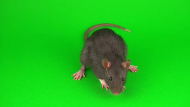 Rat rodent on green screen background