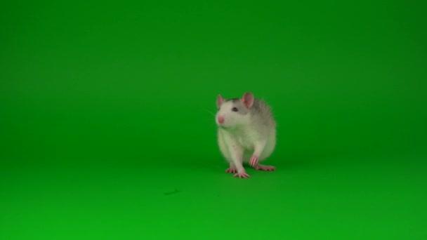 Ratte Nagetier auf grünem Bildschirm Hintergrund