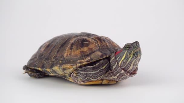 Turtle a fehér háttér Pond csúszka