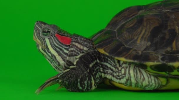 Teknős teknősök egy zöld háttér képernyőn