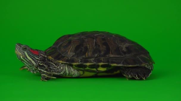 Turtle Trachemys egy zöld háttér képernyőn