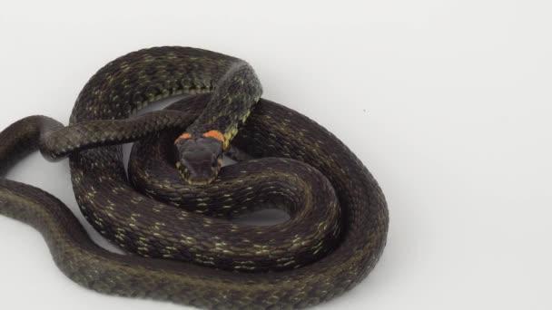 Kígyó vipera fehér háttér