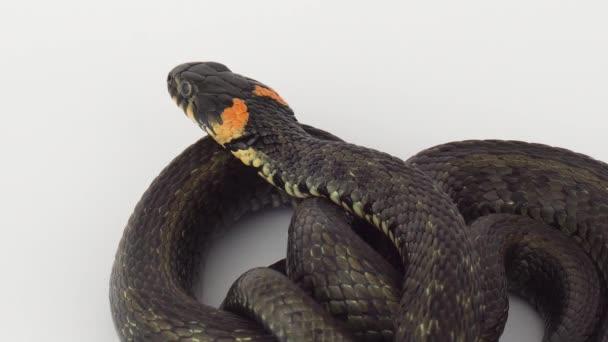 Had zmije na bílém pozadí