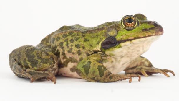 Krötenfrosch isoliert auf weißem Hintergrund Bildschirm.