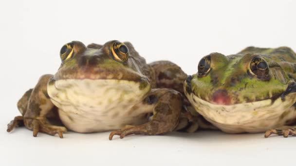 Žába žába izolované na bílém pozadí obrazovky.