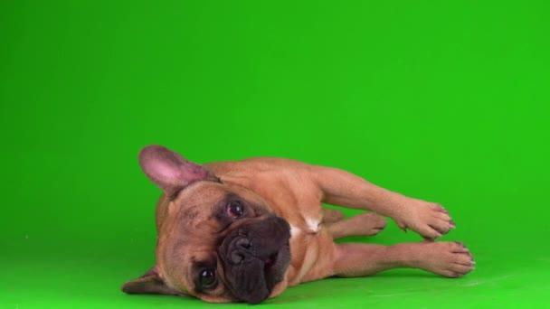 Kutya francia bulldog kiskutya egy zöld háttér képernyőn 4K videó chromakey.