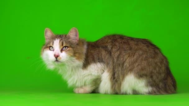Nagy bolyhos szép macska egy zöld háttér képernyőn.