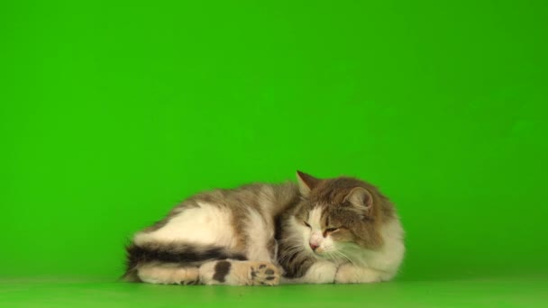 Nagy bolyhos szürke macska egy zöld háttér képernyőn.